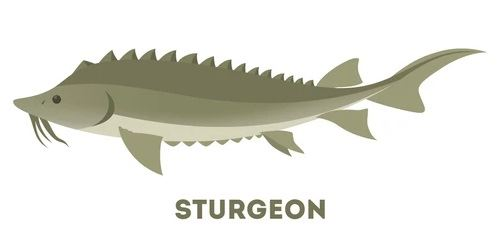 sturgeon-fish-ocean-sea-idea-260nw-1260063661